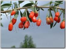Goji Berry fruit (Lycium Barbarum)